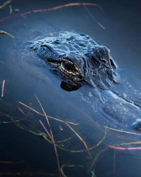 Florida Alligator Photograph - Young American Alligator, Merritt by Maresa Pryor