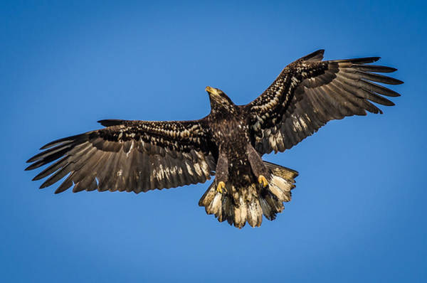Vernon County Photograph - Young American Bald Eagle In Flight by Puget  Exposure