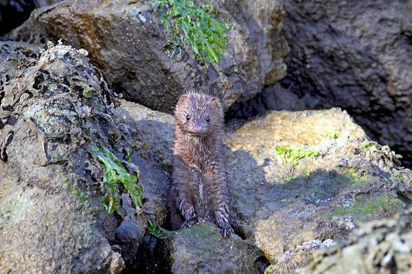 Photograph - Young American Mink by Peggy Collins