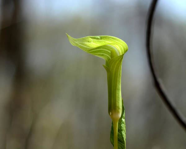 Photograph - Young Arisaema Triphyllum by Rebecca Sherman