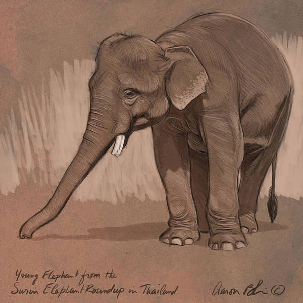 Wall Art - Digital Art - Young Asian Elephant Sketch by Aaron Blaise