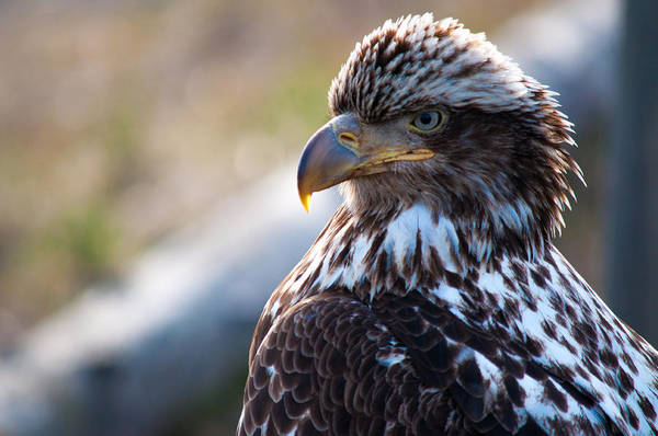 Photograph - Young Bald Eagle by Debra  Miller
