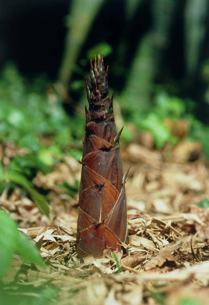 Bamboo Photograph - Young Bamboo Shoot by Pascal Goetgheluck/science Photo Library