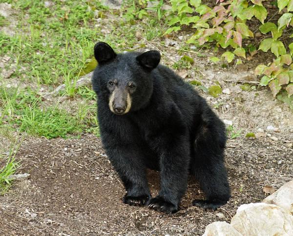 Photograph - Young Bear 2 by Lara Ellis