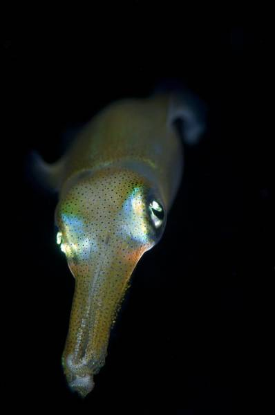 Bigfin Reef Squid Photograph - Young Bigfin Reef Squid At Night by Science Photo Library