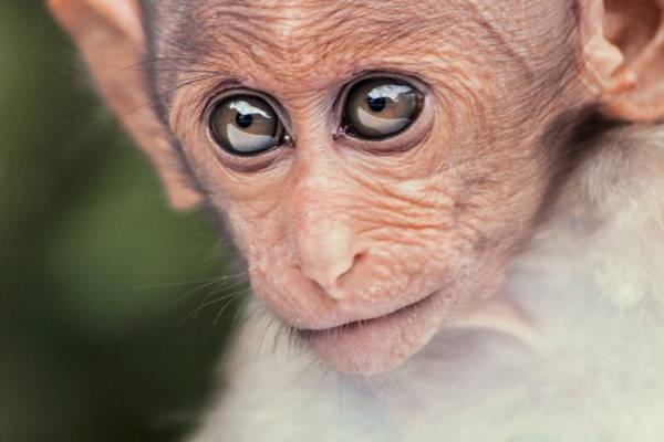 Wall Art - Photograph - Young Bonnet Macaque by Paul Williams