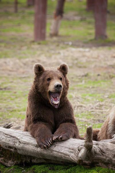 Wall Art - Photograph - Young Brown Bear  Ursus Arctos by Doug Lindstrand