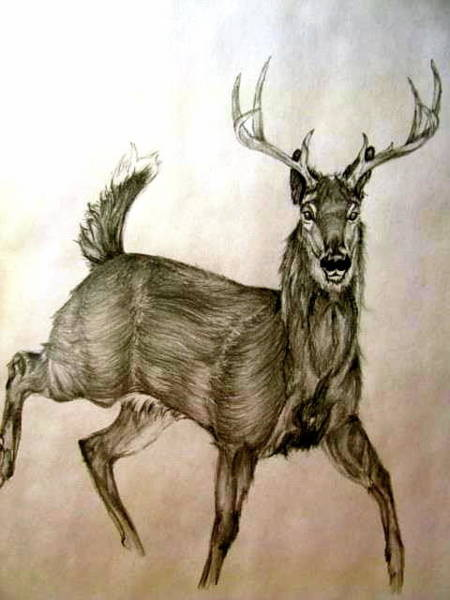 White Tailed Deer Drawing - Young Buck by Amanda Warin