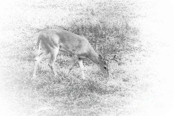 Photograph - Young Buck by Jim Lepard