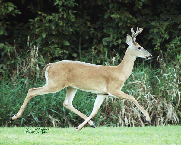 Photograph - Young Buck by Lorna R Mills DBA  Lorna Rogers Photography
