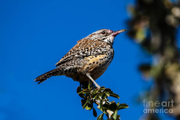 Wing Back Photograph - Young Cactus Wren by Robert Bales