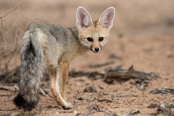 Chama Photograph - Young Cape Fox by Tony Camacho/science Photo Library