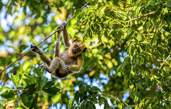 Wall Art - Photograph - Young Capuchin Monkey Hangs by James White