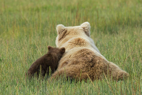 Sow Photograph - Young Coastal Grizzly Cub Leans by Brenda Tharp
