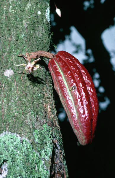 Wall Art - Photograph - Young Cocoa Pod by Dr Morley Read/science Photo Library