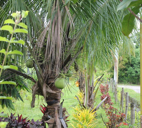 Photograph - Young Coconut Tree by Cyril Maza