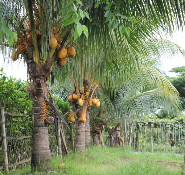 Photograph - Young Coconut Trees by Cyril Maza