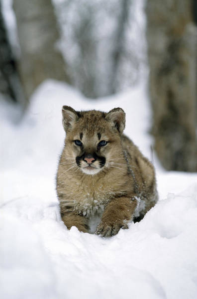 Catamount Photograph - Young Cougar by M. Watson