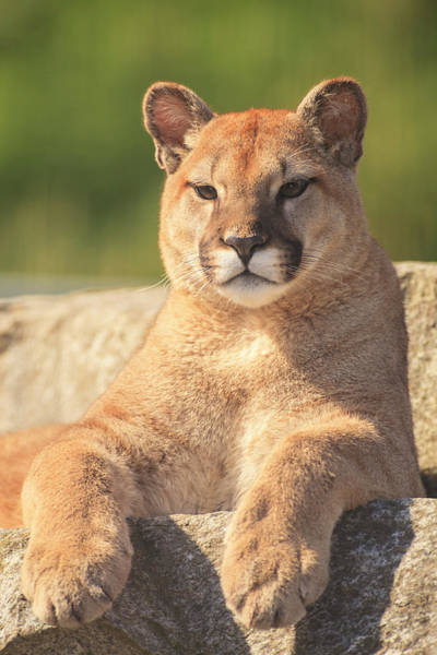 Cougar Photograph - Young Cougar (puma Concolor by Stuart Westmorland