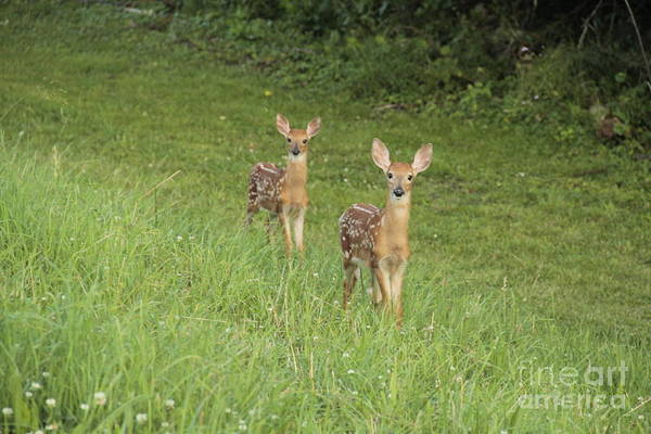 Photograph - Young Curious Fawns by Jim Lepard