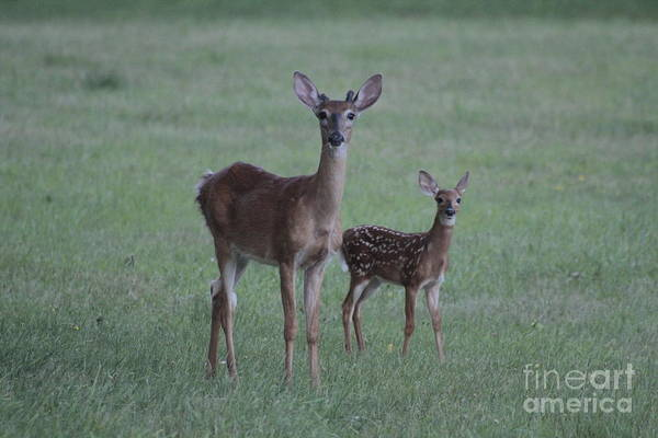 Photograph - Young Deer by Jim Lepard