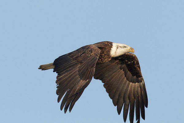 Photograph - Young Eagle by Jack R Perry