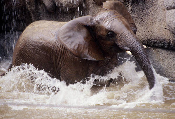 Wall Art - Photograph - Young Elephant Bathing by Sally Mccrae Kuyper/science Photo Library