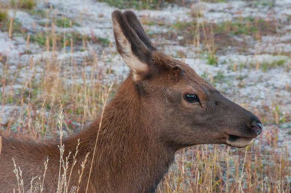 Photograph - Young Elk Calf by Brenda Jacobs
