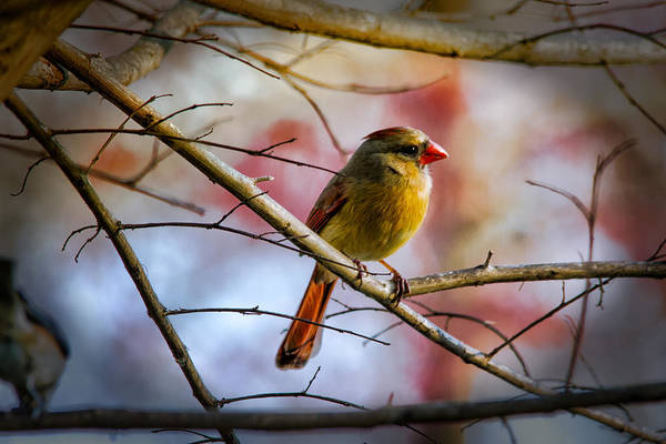 Photograph - Young Female Cardinal by Barry Jones