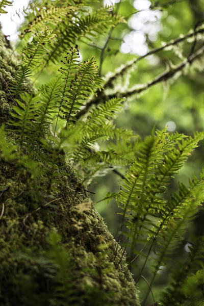 Photograph - Young Fern by Sara Hudock