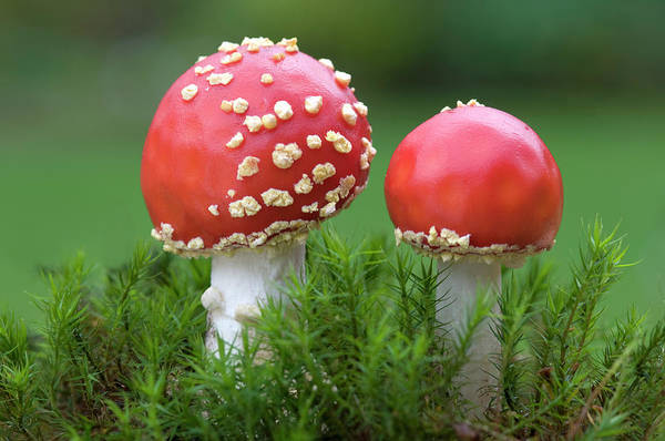 Toadstools Photograph - Young Fly Agaric Fungus by Nigel Downer