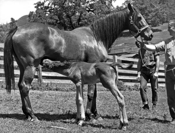 Mare And Foal Photograph - Young Foal Nursing by Underwood Archives