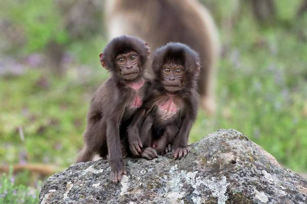 Baboons Photograph - Young Geladas At Play by Tony Camacho