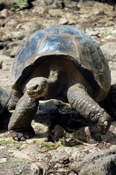 Galapagos Islands Wall Art - Photograph - Young Giant Galapagos Tortoise by Steve Allen/science Photo Library