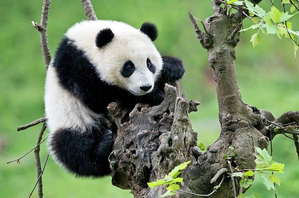 Ursidae Wall Art - Photograph - Young Giant Panda by Tony Camacho