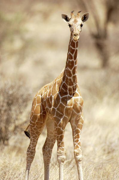 Wall Art - Photograph - Young Giraffe by Dr P. Marazzi/science Photo Library