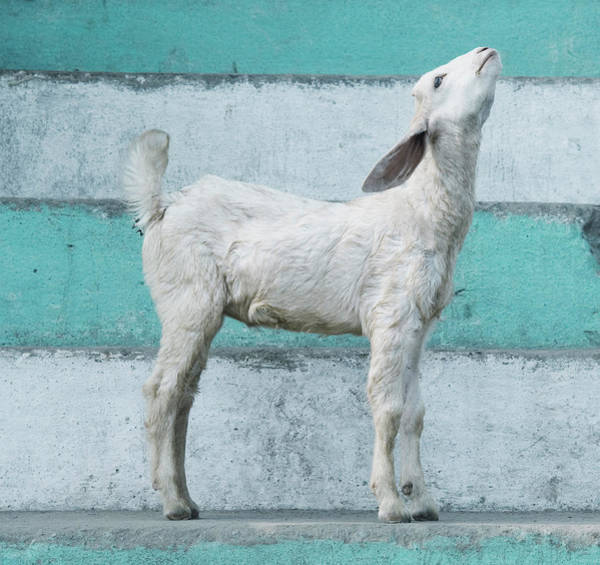 Ganges River Photograph - Young Goat On The Ghats Of The Ganges by Michael Marquand