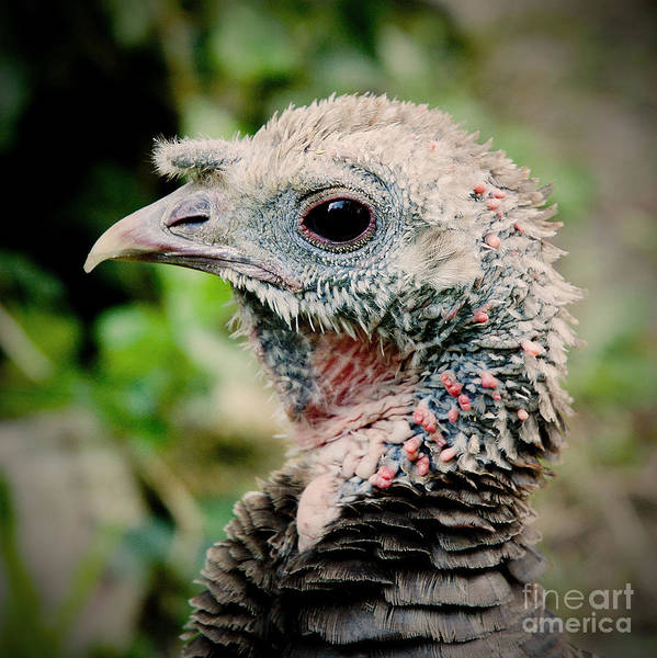 Photograph - Young Gobbler by Kathi Shotwell