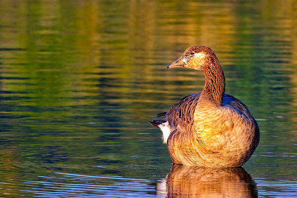 Photograph - Young Goose Reflecting - Chattahoochee River by Mark Tisdale