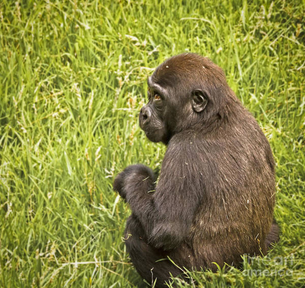 Photograph - Young Gorilla by Kate Brown