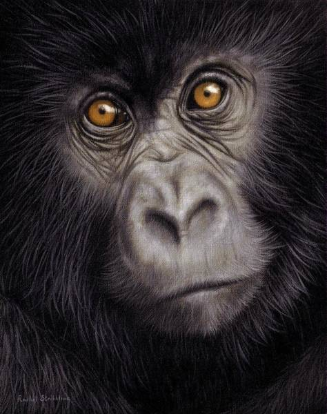 Gorilla Painting - Young Gorilla Painting by Rachel Stribbling