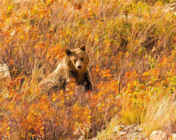 Digital Art - Young Grizzly Bear by Brenda Jacobs