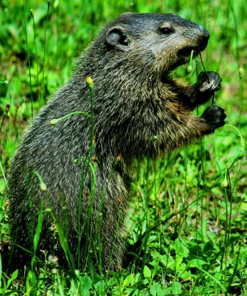 Marmot Photograph - Young Groundhog On Its Own by Beth Andersen