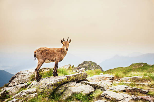 Goat Rocks Wilderness Wall Art - Photograph - Young Ibex Alpine On The Mountain by Deimagine