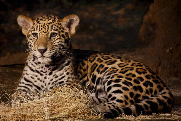 Photograph - Young Jaguar by Theo O Connor