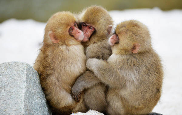 Adapted Photograph - Young Japanese Macaques by Dr P. Marazzi