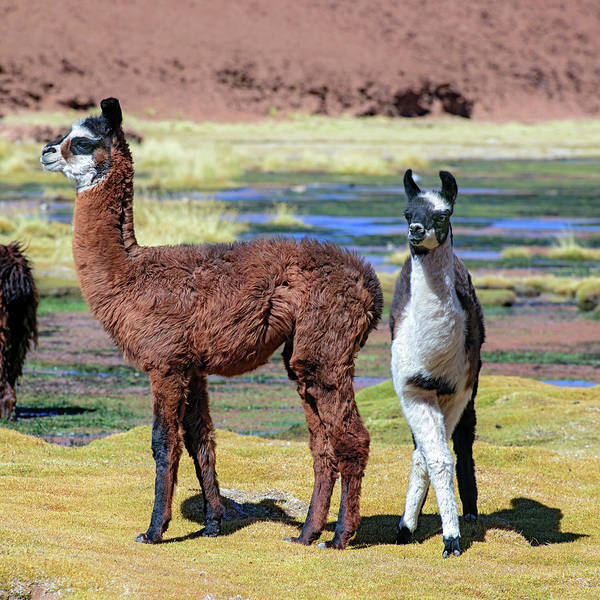 Wall Art - Photograph - Young Llamas by Babak Tafreshi/science Photo Library
