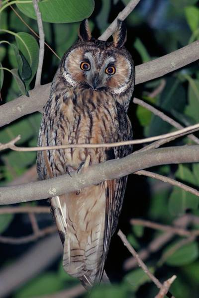 Strigidae Photograph - Young Long-eared Owl Feeding by Photostock-israel/science Photo Library