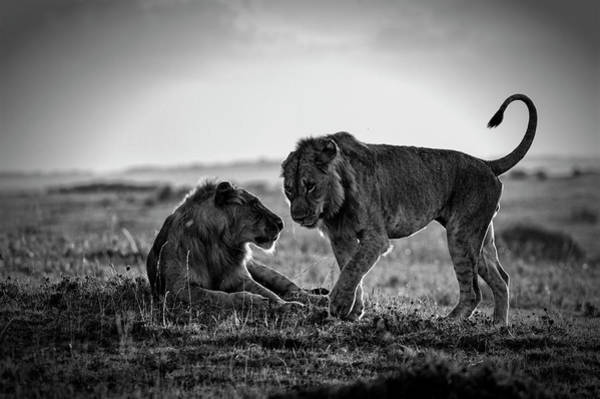 Savannah Photograph - Young Male African Lions Greeting by Mike Hill