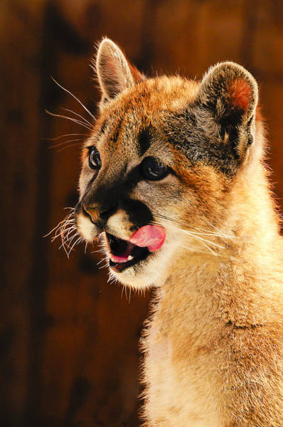 Photograph - Young Mountain Lion by Don and Bonnie Fink